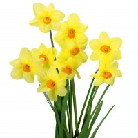 Daffodil, Flower, Spring.